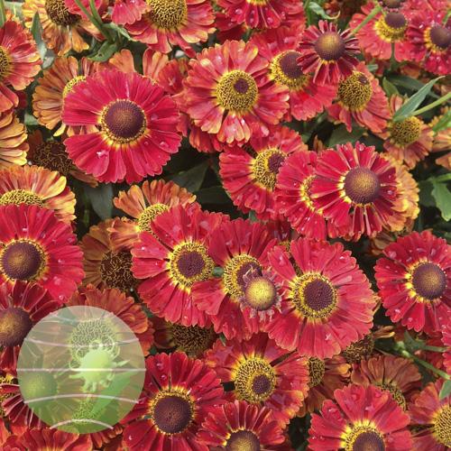 Walter Blom Plants Helenium Mariachi Salsa