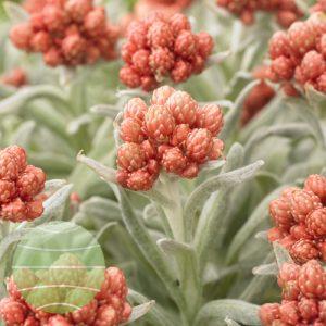 Walter Blom Plants Helichrysum Ember Glow