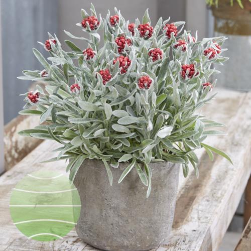 Helichrysum Red Jewel