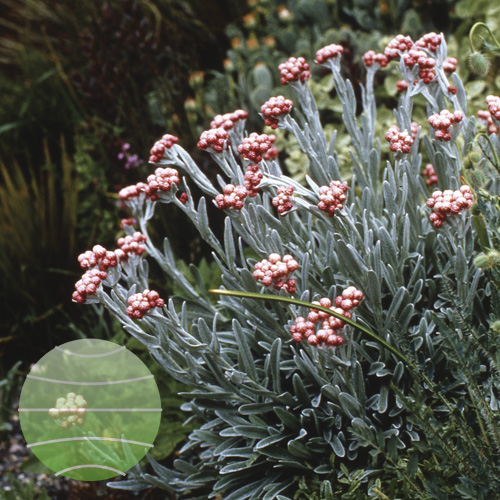 Walter Blom Plants Helichrysum Ruby Cluster