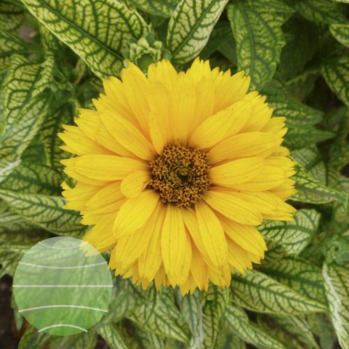 Walter Blom Plants Heliopsis Double Sunstruck