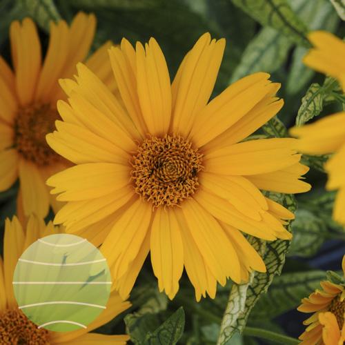 Walter Blom Plants Heliopsis Sunstruck