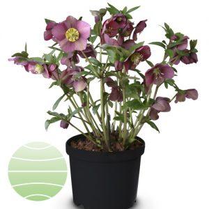 Walter Blom Plants Helleborus Christmas Spirit