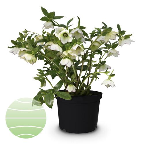 Walter Blom Plants Helleborus Spring Bright