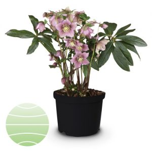 Walter Blom Plants Helleborus Spring Velvet