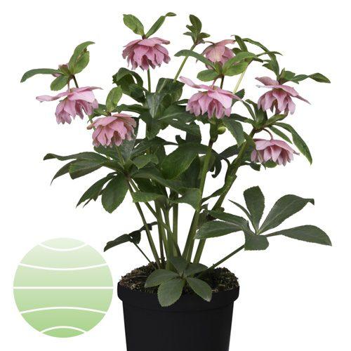 Walter Blom Plants Helleborus Spring Wonder
