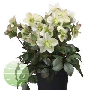 Walter Blom Plants Helleborus St Caspar