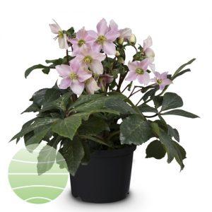 Walter Blom Plants Helleborus St Cecelia