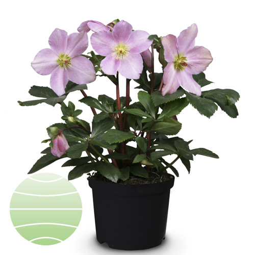 Walter Blom Plants Helleborus St Lilli