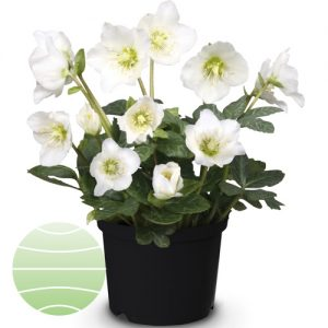 Walter Blom Plants Helleborus St Martin