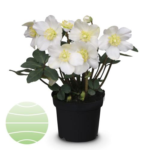 Walter Blom Plants Helleborus St Nicolas
