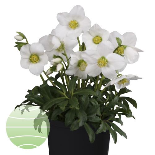 Walter Blom Plants Helleborus St Stephanus