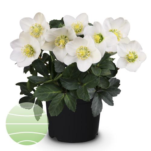 Walter Blom Plants Helleborus St. Amabilis
