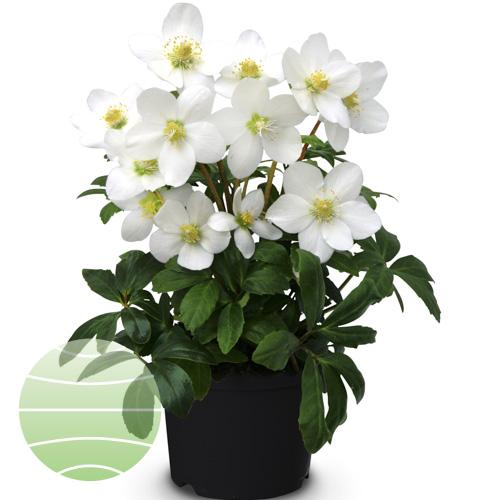 Walter Blom Plants Helleborus St. Antonia