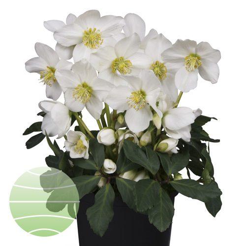 Walter Blom Plants Helleborus St. Lucia