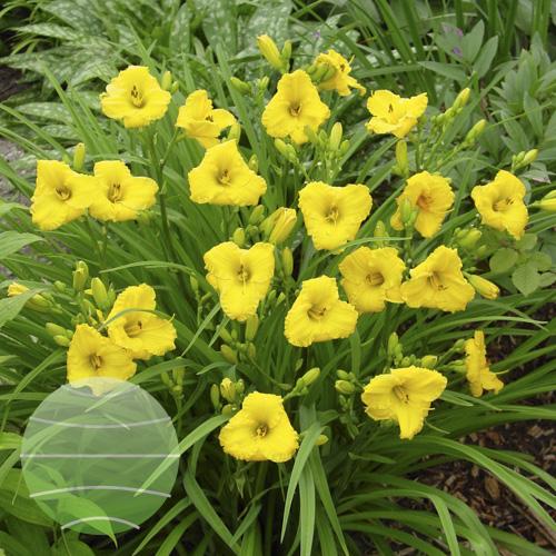Walter Blom Plants Hemerocallis Bakabana