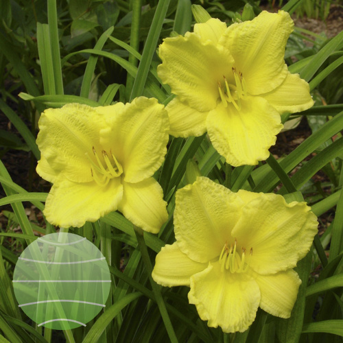 Walter Blom Plants Hemerocallis Big Time Happy