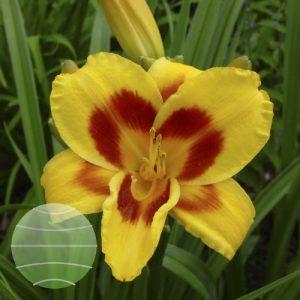 Walter Blom Plants Hemerocallis Black Eyed Susan
