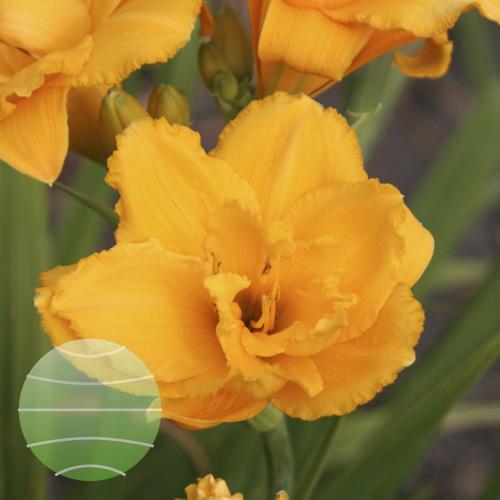 Walter Blom Plants Hemerocallis Condilla