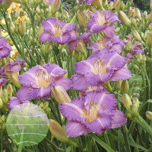 Walter Blom Plants Hemerocallis Entrapment