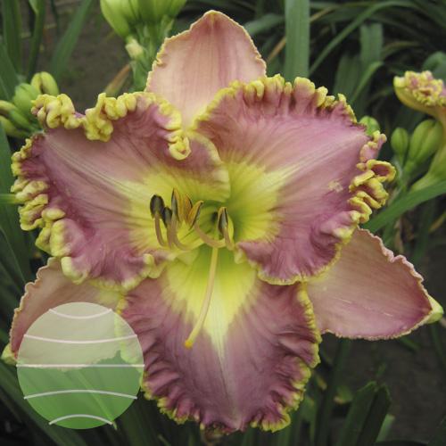 Walter Blom Plants Hemerocallis Lavender Tutu