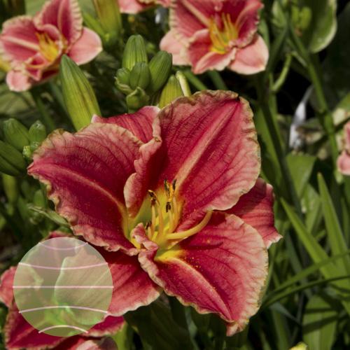Walter Blom Plants Hemerocallis Little Anna Rosa