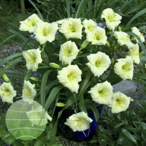 Walter Blom Plants Hemerocallis Longfields Pearl