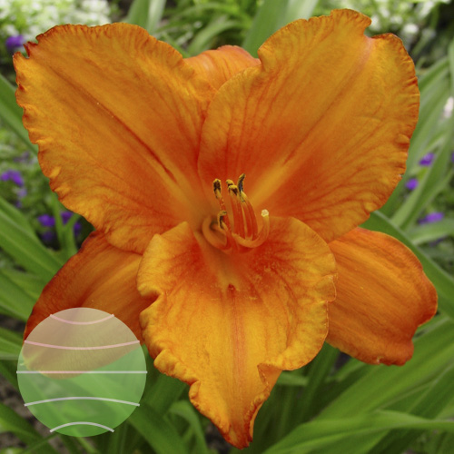 Hemerocallis My Reggae Tiger