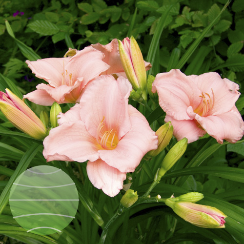 Walter Blom Plants Hemerocallis On and On