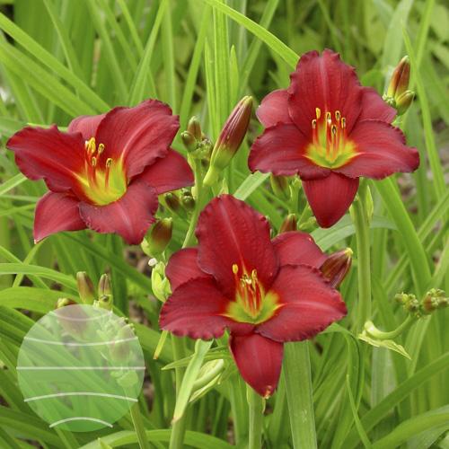 Walter Blom Plants Hemerocallis Pardon Me