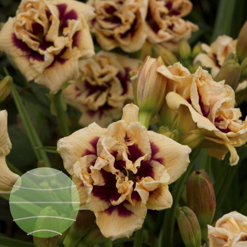 Walter Blom Plants Hemerocallis Roswitha