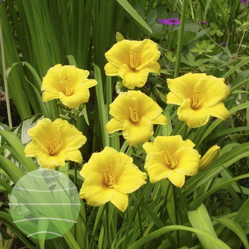 Walter Blom Plants Hemerocallis Stella de Oro