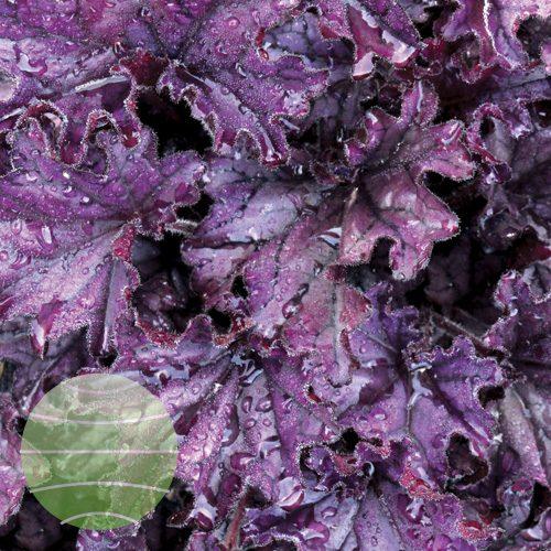Walter Blom Plants Heuchera Forever Purple