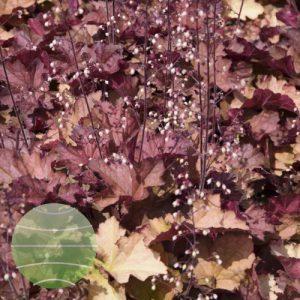 Walter Blom Plants Heuchera Rex Dark Amber