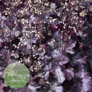Walter Blom Plants Heuchera Rex Purple
