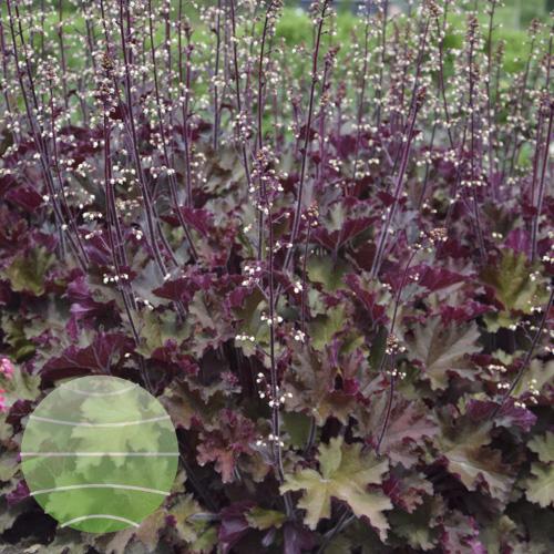 Walter Blom Plants Heuchera Rex Red