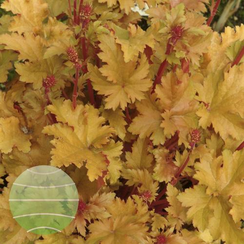 Walter Blom Plants Heuchera Amber Waves