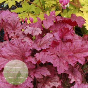 Walter Blom Plants Heuchera Berry Smoothie