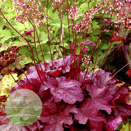 Heuchera_Berry_Smoothie_4b