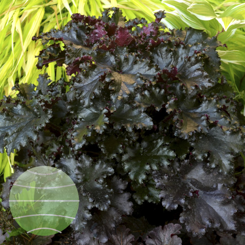 Walter Blom Plants Heuchera Black Taffeta