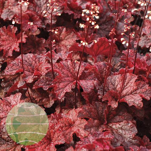 Walter Blom Plants Heuchera Cajun Fire