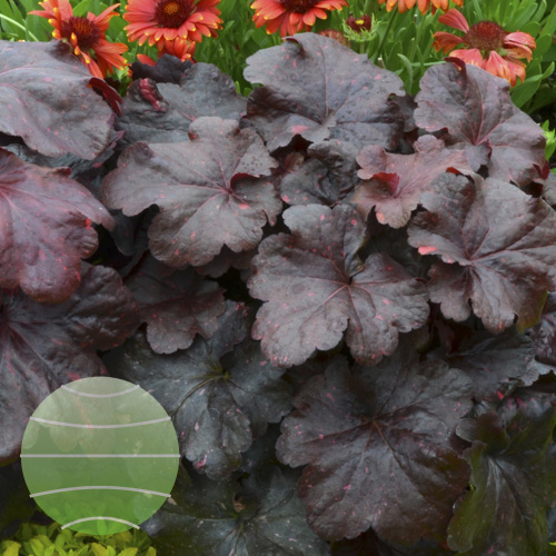 Walter Blom Plants Heuchera Galaxy