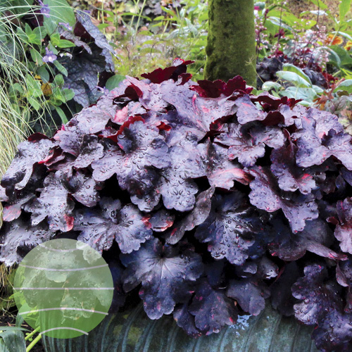 Heuchera_Galaxy_5b