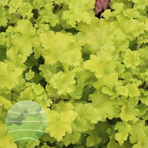 Walter Blom Plants Heuchera Lime Marmalade