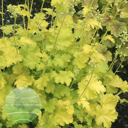 Walter Blom Plants Heuchera Lime Rickey