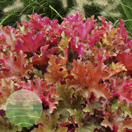 Walter Blom Plants Heuchera Marmalade