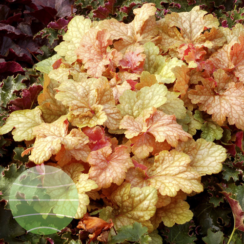 Heuchera_Midas_Touch_1b