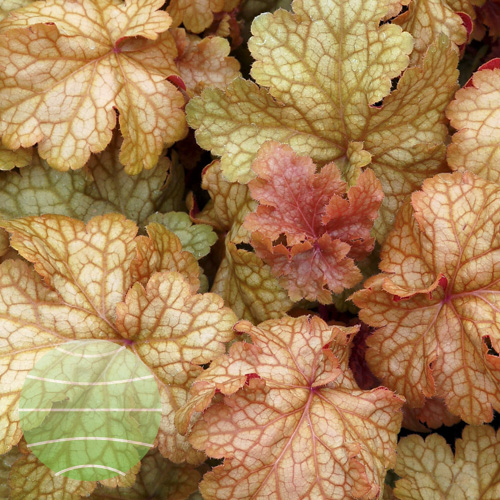 Heuchera_Midas_Touch_3b