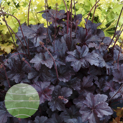 Walter Blom Plants Heuchera Obsidian