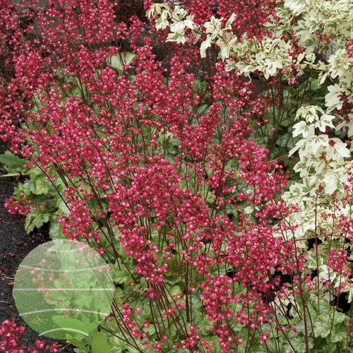 Walter Blom Plants Heuchera Paris